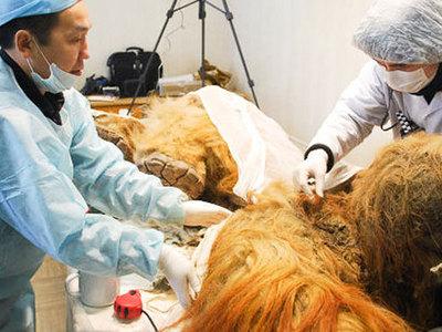 В Якутии нашли шкуру мамонта, пригодную для клонирования