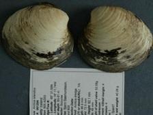 Моллюск Мин является самым долгоживущим из известных животных планеты ((фото Bangor University).)