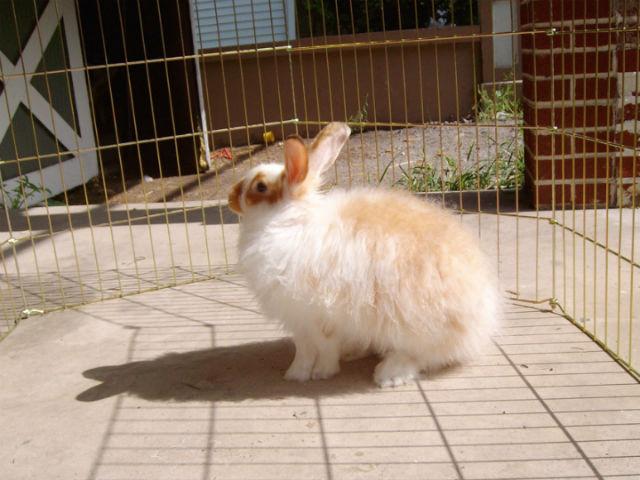 Учёные полагают, что в случае возвращения в дикую природу, естественный отбор быстро избавится от признаков, приобретённых в ходе одомашнивания. На фото ангорский кролик (фото Wikipedia Commons).