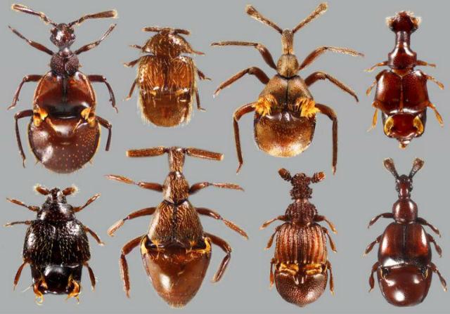 Жуков-паразитов рода Clavigeritae насчитывается около 370 видов (фото AMNH/J. Parker).