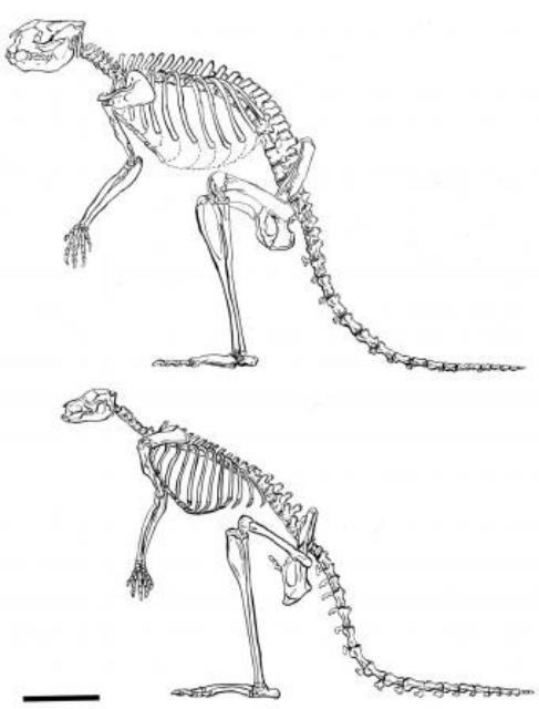 Скелет представителя рода Sthenurus (сверху) и скелет современного кенгуру (иллюстрация Lorraine Meeker/American Museum of Natural History).