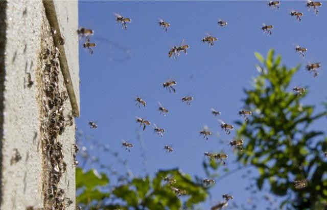 В центре фотографии можно увидеть, как две пчелы столкнулись в воздухе (фото Tobias Smith).