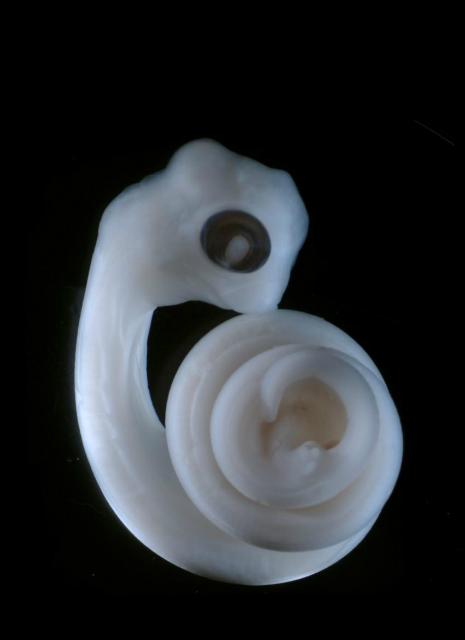 Эмбрион ящерицы – два зачатка гемипенисов видны в центре изображения, на том же уровне, что и развивающиеся задние конечности (фото Patrick Tschopp).