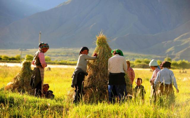 Ячмень и по сей день выращивается фермерами Тибета (фото Wen Tao).