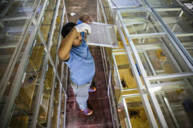 Сотрудник магазина экзотических животных обрабатывает паука. В руки брать птицеедов категорически не рекомендуется (фото Exotic Fauna Store in Managua, Nicaragua).
