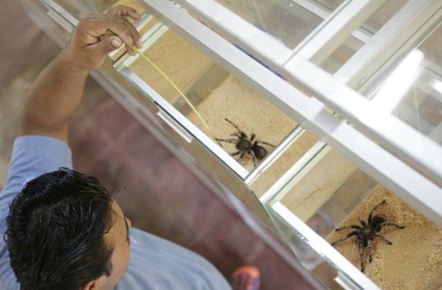 Многие люди стремятся держать птицееда у себя дома в качестве домашнего животного (фото Exotic Fauna Store, Managua, Nicaragua).