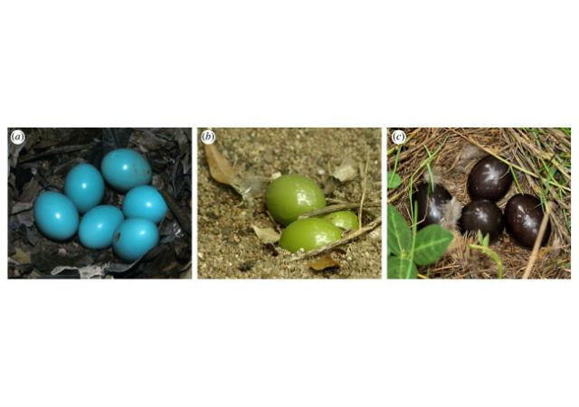 Фотографии яиц птиц видов (a) Tinamus major (средний размер 48-58 мм), (b) Eudromia elegans (39-53 мм) и (c) Nothura maculosa (29-40 мм) в гнёздах (фото Karsten Thomsen, Sam Houston and Shirley Sekarajasingham).