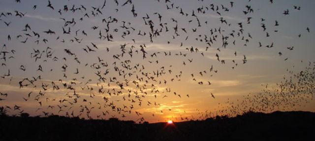 Вылетая ночью на охоту, летучие мыши по сути налаживают связь друг с другом, а не воруют информацию, как кажется на первый взгляд (фото Wikimedia Commons).