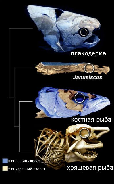 Предки костных и хрящевых рыб обладали чертами обоих классов (иллюстрация Oxford University).