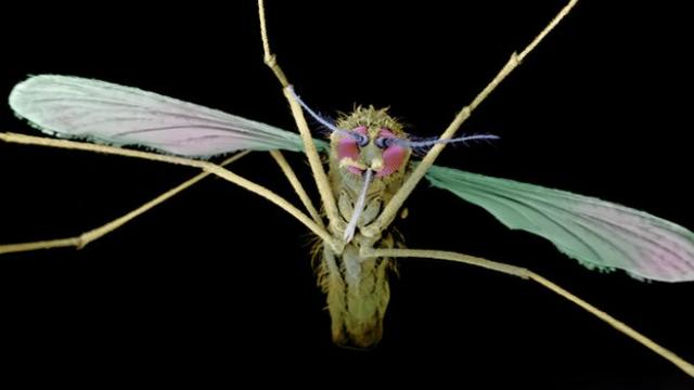 Комар – переносчик малярийных паразитов-плазмодиев (иллюстрация Science Photo Library).