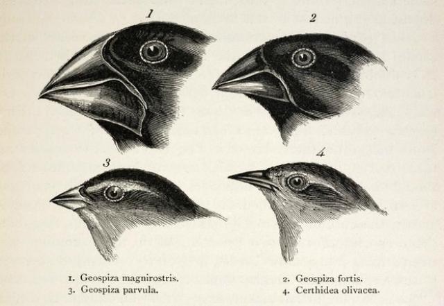 """Чарльз Дарвин впервые описал вьюрков и их эволюцию во время своего плавания на корабле """"Бигль"""" (фото SPL)."""