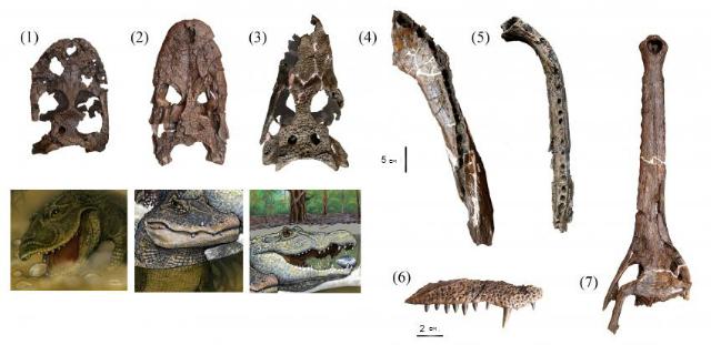 Черепа и челюсти 7 различных видов крокодилов: (1) G. pebasensis, (2) K. iquitosensis, (3) C. wannlangstoni, (4) Purussaurus neivensis, (5) Mourasuchus atopus, (6) Pebas paleosuchus и (7) Pebas gavialoid. Три новых вида (1-3) показаны на иллюстрации (реконструкция Javier Herbozo, иллюстрация Rodolfo Salas-Gismondi).