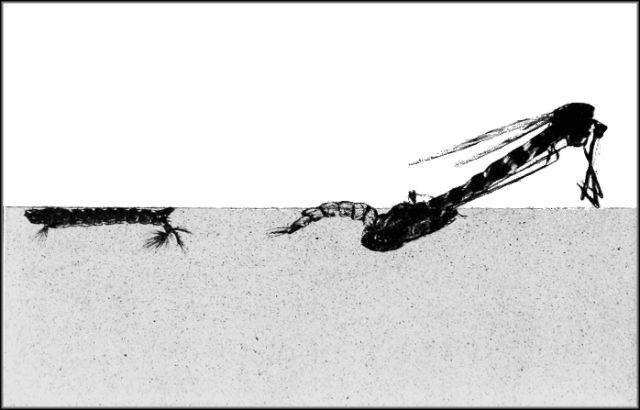 Комары откладывают яйца прямо под поверхностью воды, откуда потом вылетают взрослые особи (фото Wikimedia Commons).