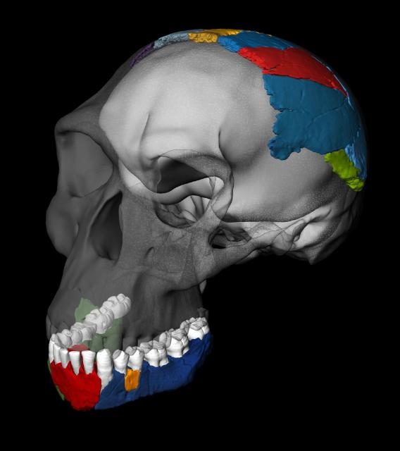 Реконструкция черепа человека умелого, выполненная на основе других окаменелостей (иллюстрация Philipp Gunz, Simon Neubauer and Fred Spoor).
