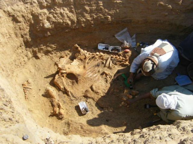 Археологи поднимают из могилы останки мужской особи слона. Многие правители приобретали себе этих массивных животных, так как они вызывают трепет (фото Renee Friedman/Hierakonpolis Expedition).