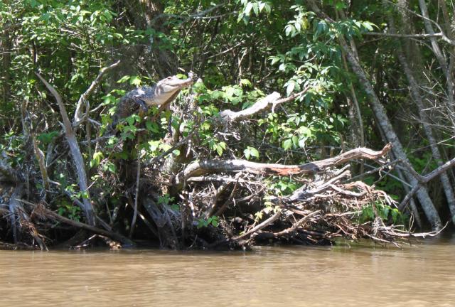 Крокодилы залезают на деревья и греются на солнце
