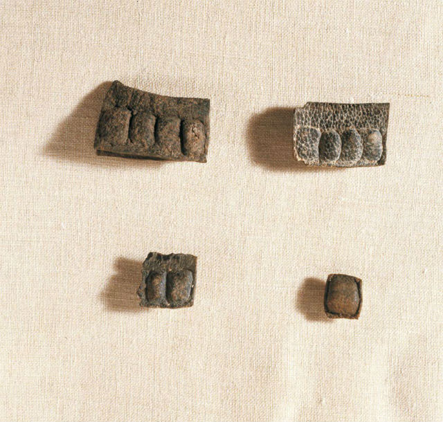 Нераскрытые тфилины из Кумрана (фото Clara Amit/Israel Antiquities Authority).