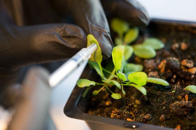 Для модификации целого растения использовался метод так называемого васкулярного вливания (фото Bryce Vickmark/MIT).