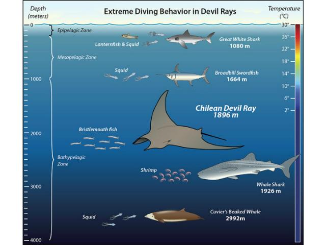 Морские животные и их способности к глубоководным погружениям (иллюстрация Jack Cook, Woods Hole Oceanographic Institution).