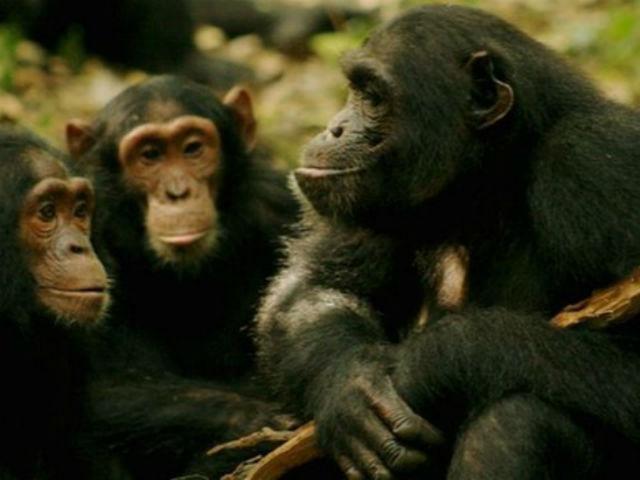 "Шимпанзе всегда проверяют, слушают ли их ""собеседники"" (фото Catherine Hobaiter)."