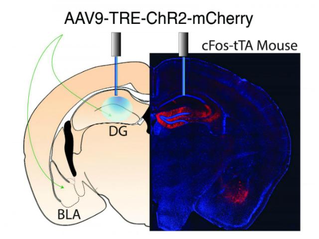 Данное изображение показывает места инъекций и экспрессию вирусных конструкций в двух областях мозга (иллюстрация Redondo et al.).