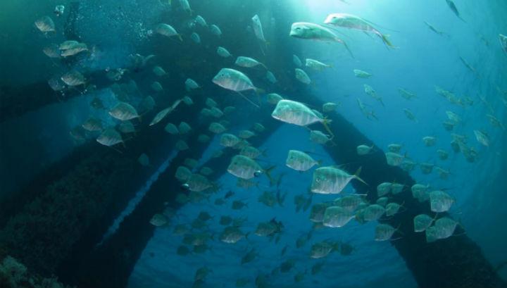 Рыбы облюбовали морские платформы в качестве новой среды обитания
