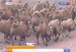Астраханские верблюды согреют и накормят