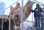 Российский тяжеловес поднял верблюда