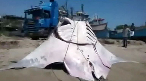 Перуанские рыбаки поймали гигантского морского дьявола