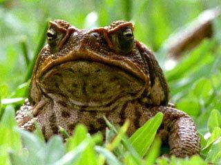 Отцовский инстинкт у лягушек