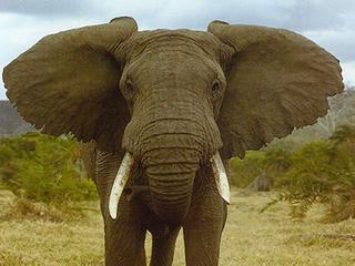 Уши слона
