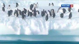 На пингвинов надели видеокамеру