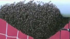 Пчелы задержали футбольный матч