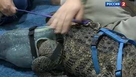 В США крокодилу