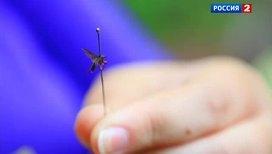 Комары-толстоножки атакуют