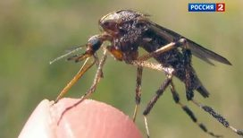 Комары-чудовища нападают на американцев