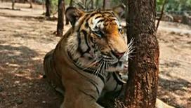 В тигриной моче содержатся феромоны