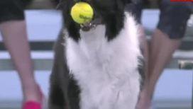 Собаки-болбои обслуживают игру Кузнецовой и Уильямс