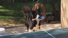 Собака играет в настольный теннис
