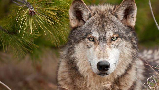 картинки на рабочий стол волки № 520510 загрузить